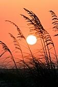 Sea Oats at Sunrise - Algiers Beach, Sanibel Island, Florida USA