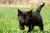 Kitten Playing in the Grass
