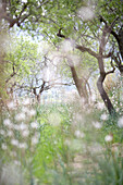Flower meadow under almonds, Esporles, Majorca, Balearic Islands, Spain