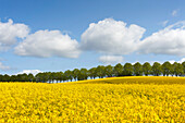 Alley of lime trees and rape field under white clouds, nature park Holsteinische Schweiz, Baltic Sea, Schleswig-Holstein, Germany, Europe