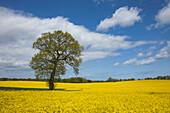 Oak in rape field, nature park Holsteinische Schweiz, Baltic Sea, Schleswig-Holstein, Germany, Europe