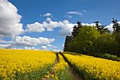 Path through rape field, nature park Holsteinische Schweiz, Baltic Sea, Schleswig-Holstein, Germany, Europe