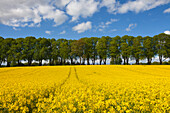 Alley of lime trees and rape field under clouded sky, nature park Holsteinische Schweiz, Baltic Sea, Schleswig-Holstein, Germany, Europe