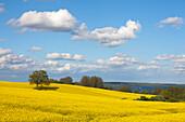 Oak in rape field, sailing boats on lake Wittensee, Baltic Sea, Schleswig-Holstein, Germany, Europe