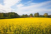 Farmhouse in rape field, Baltic Sea, Schleswig-Holstein, Germany, Europe