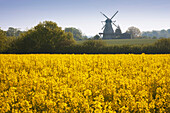 Windmill and rape field, Flensburg fjord, Baltic Sea, Schleswig-Holstein, Germany, Europe