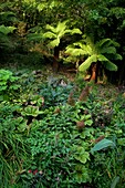 U.K Cornwall,The Lost Gardens of Heligan ,The  Jungle, Dicksonia antartica  and Rodgersia