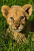 Africa, Zimbabwe, Midlands province, Antelope Park, African Lion Environment and Research Trust (ALERT), baby lion (Leo Panthera)