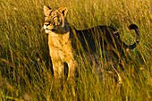 Africa, Zimbabwe, Midlands province, Antelope Park, African Lion Environment and Research Trust (ALERT), female lion (Leo Panthera)