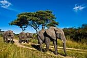 Africa, Zimbabwe, Midlands province, Antelope Park, elephants (Loxodonta africana)