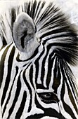 Painted photograph of a zebra profile on photographic barite paper