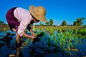 Myanmar (Burma), Mandalay State, Ava, San San Win planting rice shoots