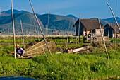 Myanmar (Burma), Shan State, Inle Lake, fisherman in floating gardens