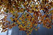 BEECH TREE LEAVES IN AUTUMN, FORET DE RETZ, AISNE, PICARDIE, FRANCE