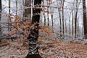 BEECH TREES FOREST IN WINTER, FORET DE RETZ, AISNE, PICARDIE, FRANCE