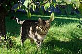 DOMESTIC CAT WALKING IN GARDEN, FRANCE