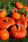 'AMBERCUPS ''RED CURRY'' AND PUMPKINS ''ROUGE D'ETAMPES'' IN GARDEN, FRANCE'