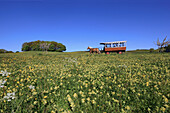 Meadow with blooming rattleweed and horse drawn carriage, Hiddensee Island, Western Pomerania Lagoon Area National Park, Mecklenburg Western Pomerania, Germany, Europe
