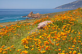 Californian Poppies at the Pacific coast, Pacific Ocean, California, USA, America