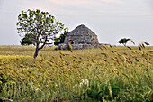 Dry stone hut with conical roof, Trulli near Castel del Monte, Apulia, Italy