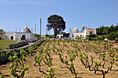 Viniculture with Trullis near Locorotondo, Traditional Apulian dry stone huts with a conical roof, Valle d´Itria, Alberobello, Apulia, Italy