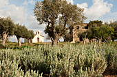 Olive trees on the fairways of Navarino Dunes golf course, Peloponnese, Greece, Europe