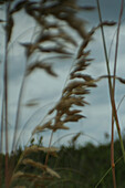Blurred Beach Grass