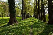 Forgotten avenue of trees in Spring near Michaelsdorf, Bodstedter Bodden, Baltic Sea, Darss, Mecklenburg Vorpommern, northern Germany