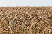 Feld of rye, grain, farmland, Agriculture