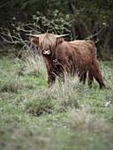 Scottish Highland cattle out at feed, Donaumoos, Guenzburg, Bavaria, Germany, Europe