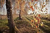 Trees in autumn, Donaumoos, Guenzburg, Bavaria, Germany, Europe