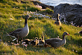 Geese in a meadow at the coast, Saebraut, Reykjavik, Iceland, Europe
