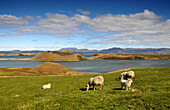 Sheep in a meadow at lake Myvatn (southside), North Iceland, Europe