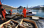 Fishermen with their catch at the harbour of Siglufroerdur, North Iceland, Europe