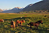 Iceland horses in a meadow at Holar, North Iceland, Europe