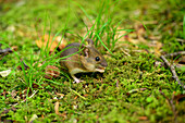Wood mouse holding food, Apodemus sylvaticus, Chiemgau, Chiemgau range, Upper Bavaria, Bavaria, Germany