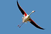 France , Bouches du Rhone, Camargue , Greater Flamingo  Phoenicopterus ruber  , Order :Phoenicopteriformes , Family : Phoenicopteridae