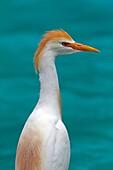France , Bas-Rhin , Hunawihr  68150  , Cattle Egret  Bubulcus ibis  , order : Ciconiiformes , family : Ardeides
