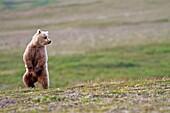 Alaska , Katmai National Park and Preserve , Grizzly bear  Ursus arctos horribilis  , order : carnivora ,family : ursidae