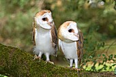 France, Lot ,Barn Owl  Tyto alba , Order: Strigiformes , Family: Strigidae