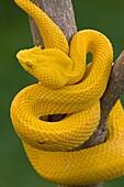 Eyelash Palm-pitviper Bothriechis schlegeli. Costa Rica, captive, tropical rainforest, venomous