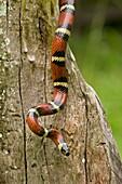 Tropical milksnake (Lampropeltis triangulum), Costa Rica - tropical dry forest - non-venomous - constrictor
