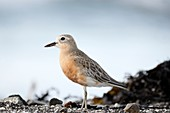 New Zealand dotterel Charadrius obscurus is an endangered bird species endemic to New Zealand  Mimiwhangata, Northland, New Zealand