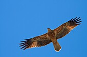 A lone Whistling Kite Haliastur sphenurus against a blue sky, Adelaide River, Northern Territory, Australia