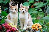 Two Red and White kittens sitting on wall in Garden, autum, Germany
