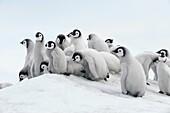 Emperor penguin Aptenodytes forsteri, chicks  Location: Snow Hill Island, Weddell Sea, Antarctica