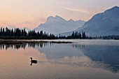 Mt Rundle and Sulphur Mountain reflected in Third Vermilion Lake, with swimming Canada Goose, Banff NP, Alberta, Canada