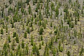 Arid mountain slopes with pine trees, near Hedley, BC, Canada