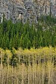 Aspen forests near Barrier Lake, Kananaskis country, Alberta, Canada.