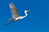 A great white egret in flight carrying a twig at the Alligator Farm rookery in St  Augustine, Florida, USA